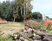Tronchi di alcuni degli alberi tagliati a via Sannio