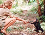 L'etologa Jane Goodall in Tanzania nel 1964