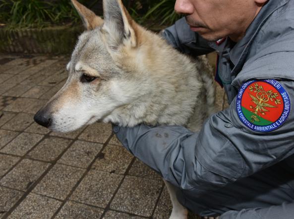 Un esemplare di lupo cecoslovacco incrociato con un lupo selvatico (foto  Proto)