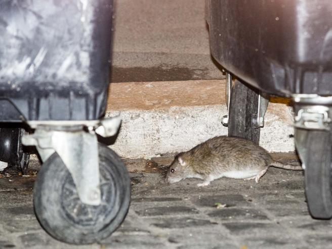 Sterilizzare i topi, Roma divisaI residenti: «Serve pulire le strade»
