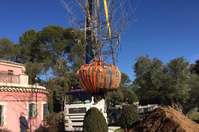 Piantato a villa Borghese Adonis jr, clone di un platano del '600
