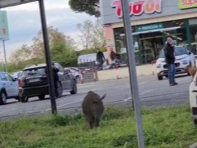 Roma, due cinghiali davanti al supermarket. «Carini, scodinzolano!» Ma sulla Cassia via alle catture Video
