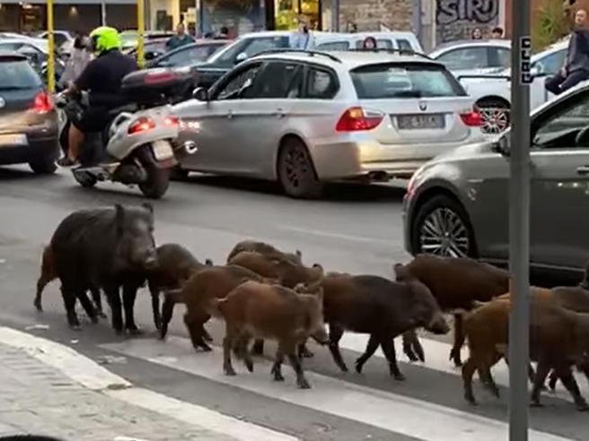 Via Trionfale, 13 cinghiali a spasso tra le auto. Ormai si sono ambientati, il timore è che entrino nei palazzi