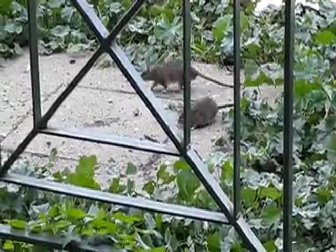 «Undici ratti al metro quadrato»: emergenza a Villa Pamphilj Video