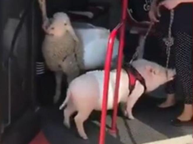 Roma, anche una pecora e un maiale sul bus 170