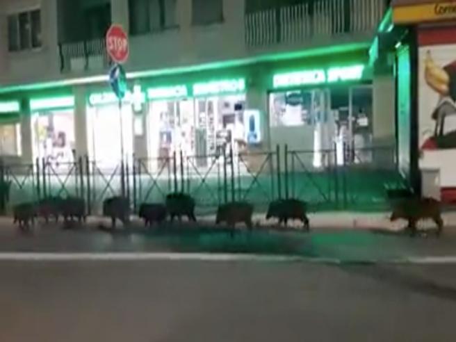 Roma, 9 cinghiali a spasso nel quartiere Aurelio: «Bambini, guardate!»