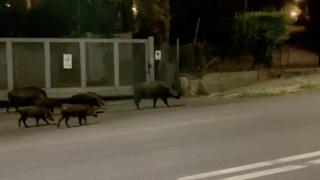 Branco di cinghiali invade la carreggiata: stanotte «escursione» a via Mario Fani