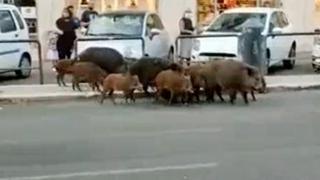 Roma, tredici cinghiali in fila indiana tra le auto: la denuncia social