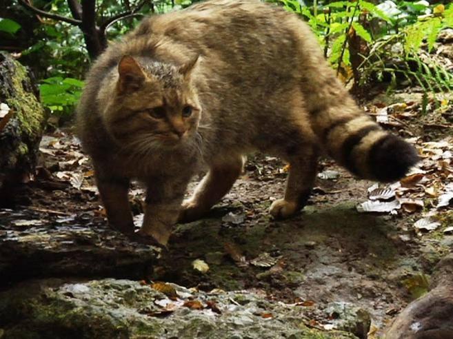 Ambiente Il Parco Di Veio è Abitato Dal Gatto Silvestris